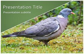 Free Pigeon PowerPoint Template